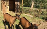 If You Build It, They Will Come…Goats at The Compass School